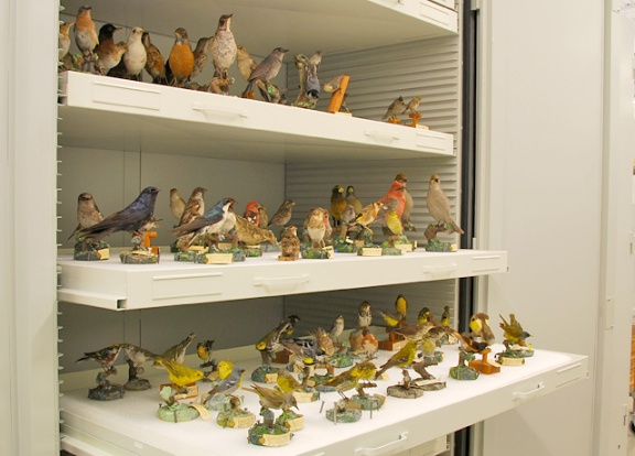An open metal cabinet showing shallow drawers that hold dozens of mounted birds specimens.