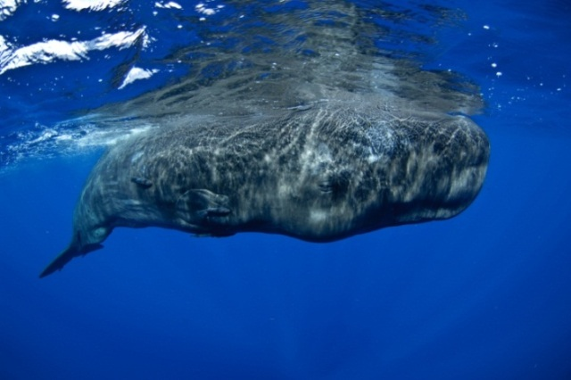A sperm whale (Physeter macrocephalus).