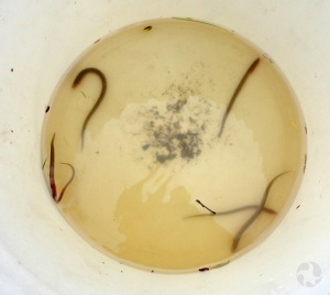 Bowl holding five tiny lamprey in water.