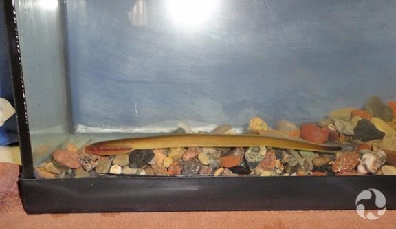 A lamprey resting at bottom of an aquarium.