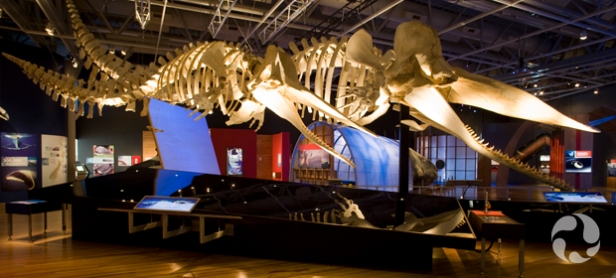 Male and female sperm whale (Physeter catodon) skeletons.