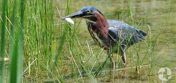 A green heron in pond.
