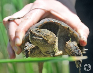 Close-up of a Snapping Turtle in hand.