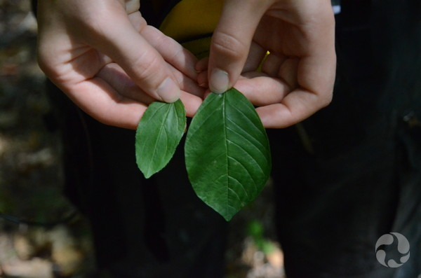 A woman's hand holds two leaves for comparison.