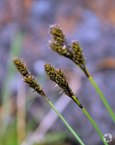 Sedge (Carex sp.) in the wild.