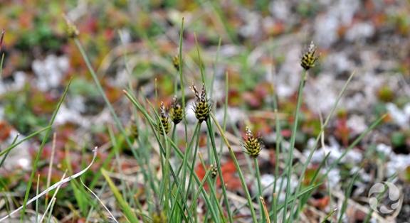 Capitate sedge (Carex arctogena) in the wild.