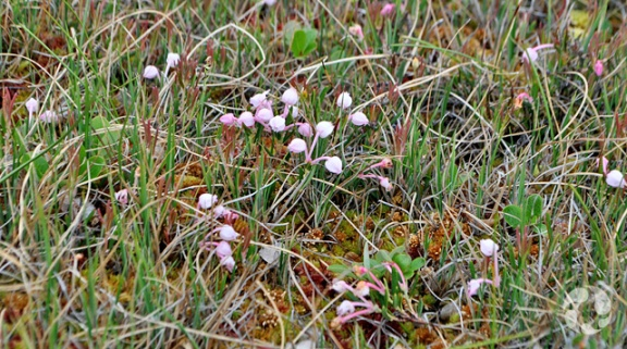 Bog rosemary (Andromeda polifolia) in bloom on the tundra.