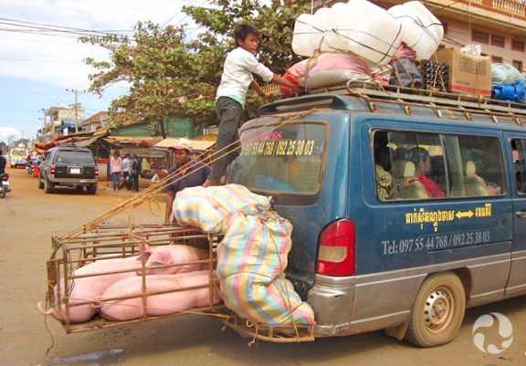 A wooden crate holding three pigs sticks out from the bumper of the van to which it is tied, while a man attends cargo tied to the roof.