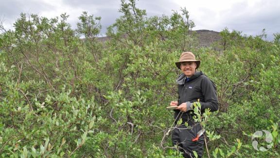 A man stands among willows (Salix planifolia).