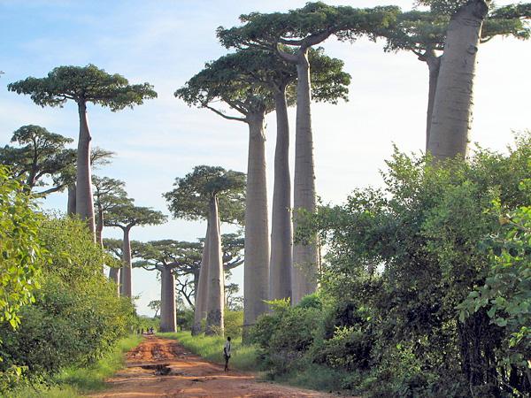Baobabs (Adansonia grandidieri) and smaller trees line a dirt road.