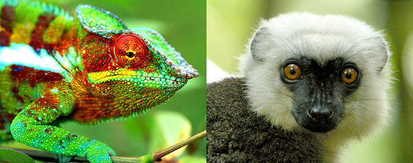 Two photos: A panther chameleon (Furcifer pardalis) and a white-headed lemur (Eulemur albifrons).