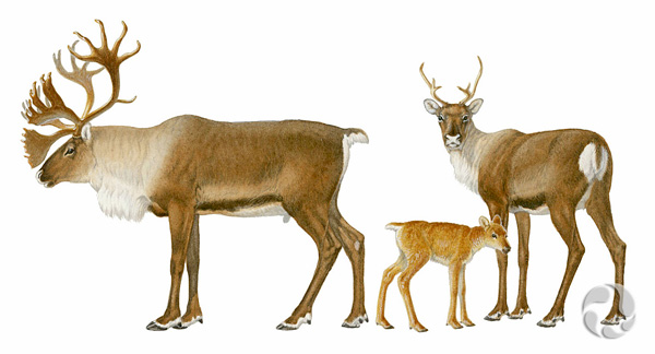 Illustration of Woodland Caribou (Rangifer tarandus caribou).