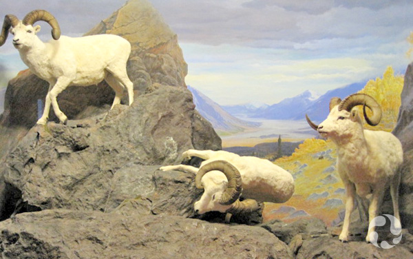 The thinhorn-sheep (Ovis dalli) diorama with the fallen sheep.