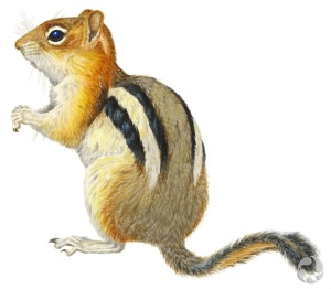 Illustration of Golden-mantled Ground Squirrel (Spermophilus lateralis).