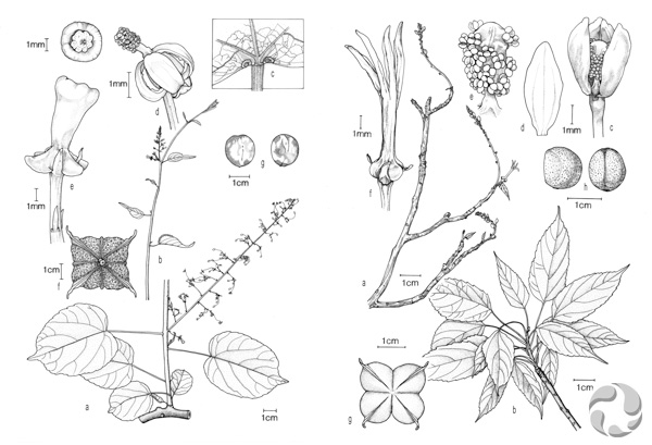Two sets of drawings showing the parts of the plants Plukenetia ankaranensis and Plukenetia decidua.
