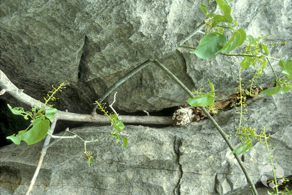 A Plukenetia ankaranensis vine grows in a crack in a rock.