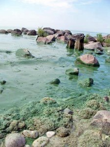 Blue-green algae cover rocks near shore.