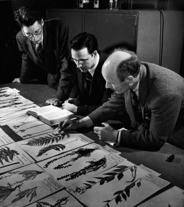 Three men stoop over herbarium sheets arrayed on a table.