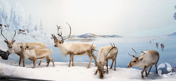 The caribou (Rangifer tarandus) diorama at the Canadian Museum of Nature.