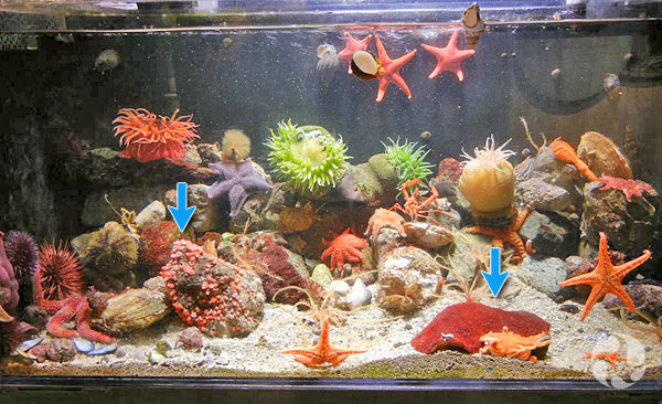 An aquarium containing many animals. Arrows point to the strawberry anemones (Corynactis californica) and gumboot chiton (Crytochiton stelleri).