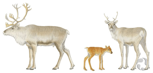An illustration of three Peary caribou (Rangifer tarandus pearyi).
