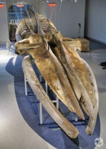 View of the whale skull showing dark spots on the bones.