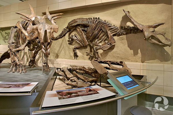 A mounted Styracosaurus skeleton in the Talisman Energy Fossil Gallery.