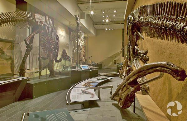A mounted Hypacrosaurus skeleton in the Talisman Energy Fossil Gallery.