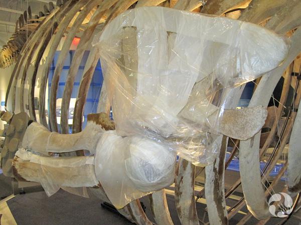 Some bones in the skeleton, wrapped in plastic.