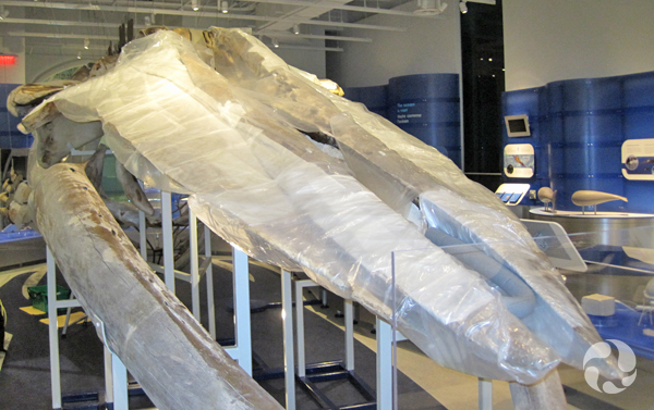 The whale skull, mostly wrapped in plastic.