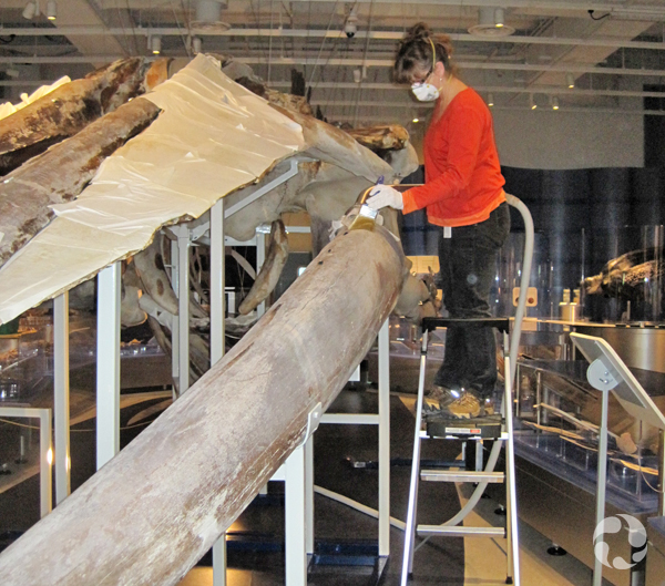 A woman cleans the blue-whale skeleton using a brush.