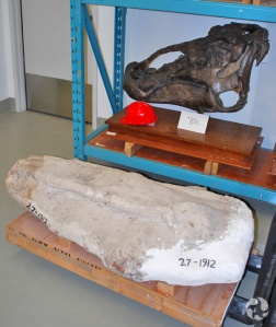 A plaster jacket on a pallet in front of the mounted, holotype Edmontosaurus regalis (CMN 2288) skull on a shelf in the museum's collections.
