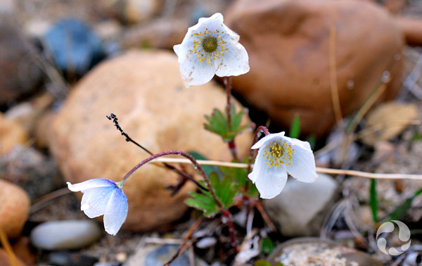 Anemone parviflora in bloom.