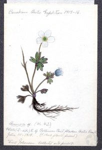 An annotated illustration of a flowering plant specimen.