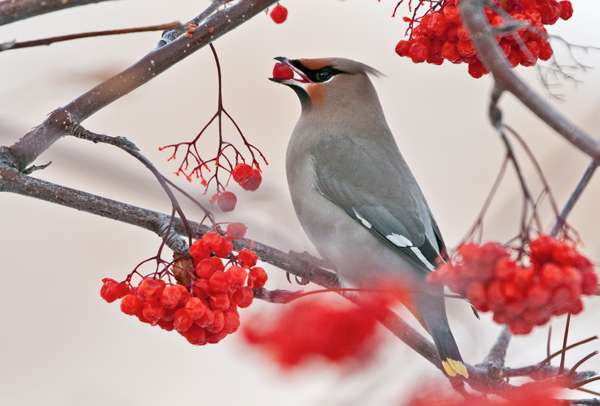 A Bohemian Waxwing (Bombycilla garrulus) eats a berry in a tree.