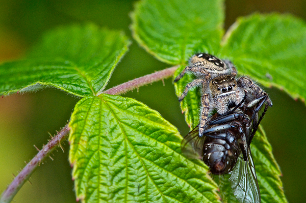 A jumping spider (from the Salticidae family) with its prey, a fly (a species of Musca) on a leaf.