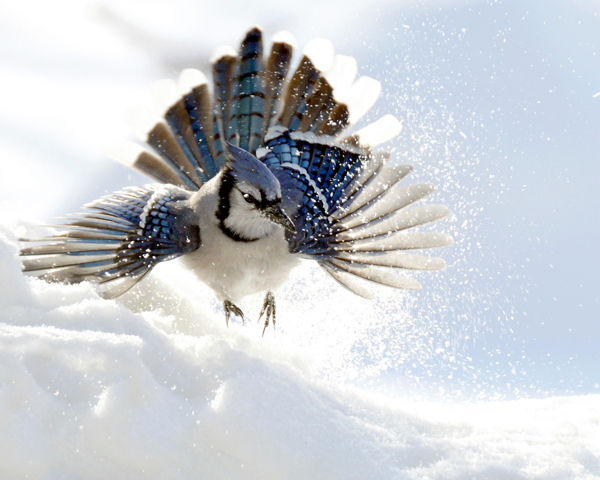 A Blue Jay (Cyanocitta cristata) takes off from snow.