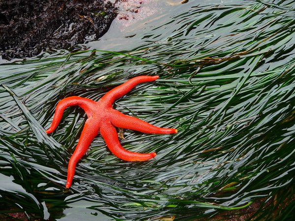 A blood star (Henricia leviuscula) on eelgrass (Zostera marina) floating in very shallow water.