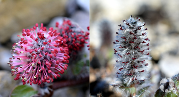 Closeup of a male (left) and female (right) Arctic Willow plant.