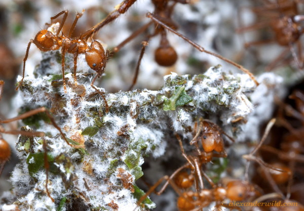 Ants stand on mouldy clumps of leaf bits.