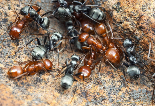 A dozen of two kinds of ants.