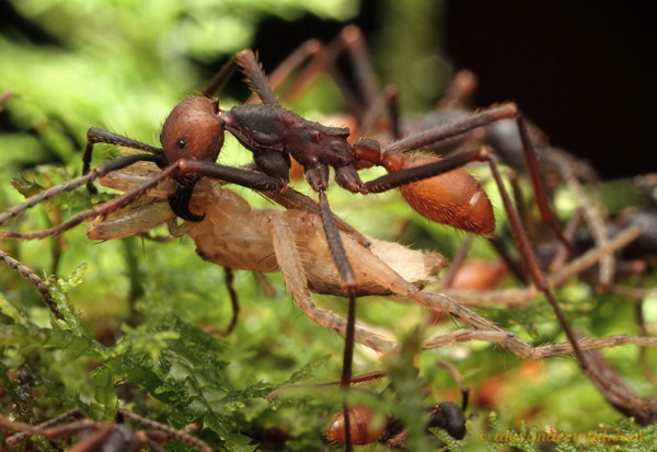 An ant carries a spider beneath its body.