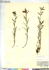 A specimen of Castilleja raupii (CAN 230262) on a herbarium sheet.