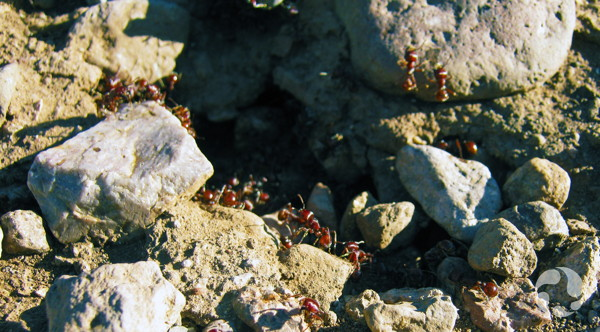 More than a dozen ants near a hole in rocky ground.