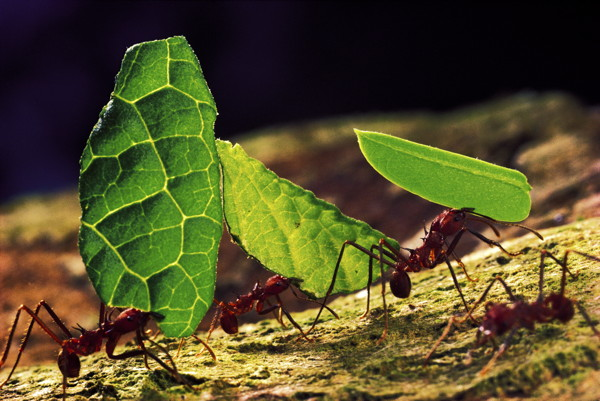 Leafcutter ants (Atta cephalotes), each carrying a piece of leaf.