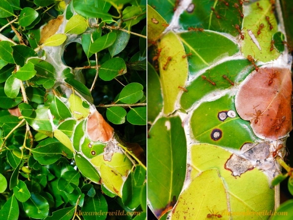 Collage: Two views of a container made of leaves in a plant.