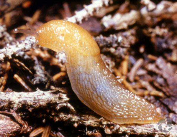 A slug on forest litter.