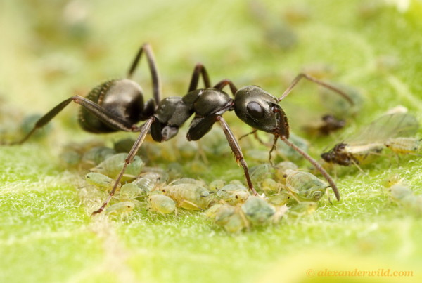 An ant stands over a dozen aphids.