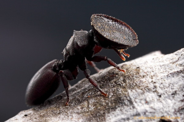 A turtle ant (Cephalotes varians) soldier.