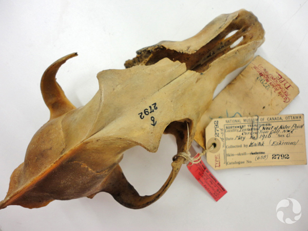 A wolf skull with collection tags attached.